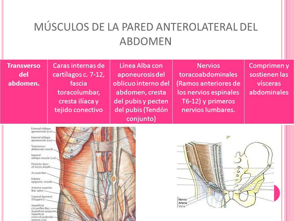 Pared Anterolateral Del Abdomen Ppt Video Online Descargar