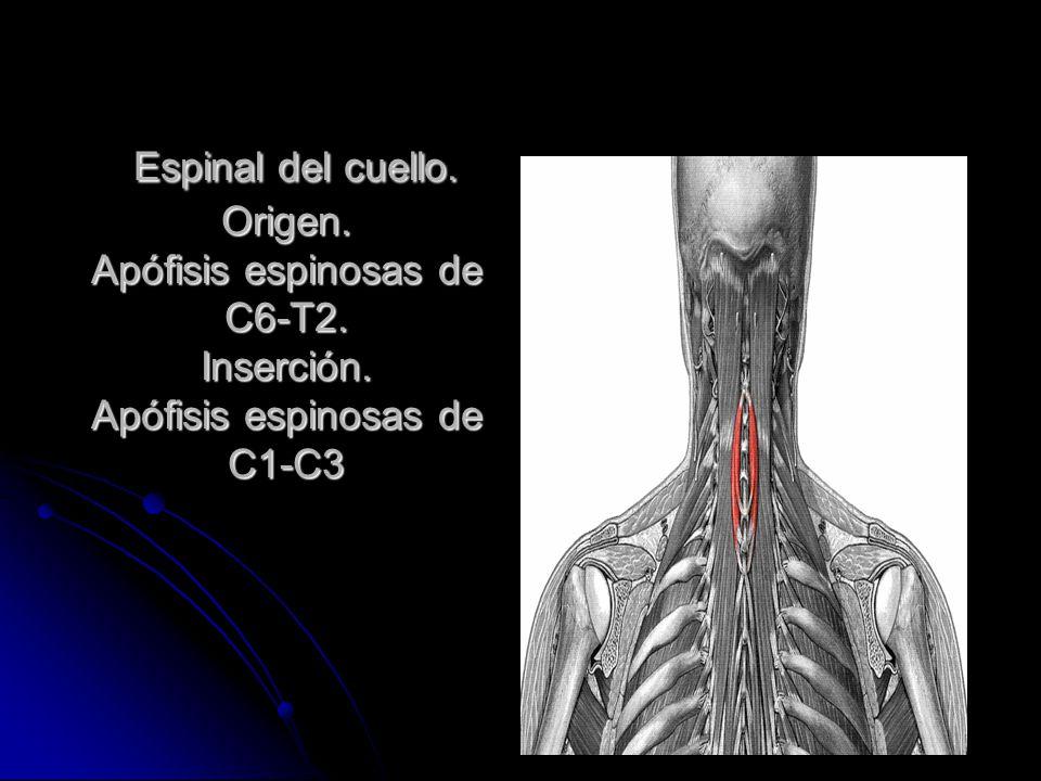 MÚSCULOS DEL CUELLO. - ppt video online descargar