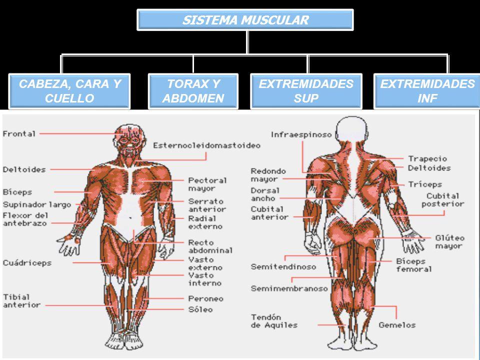 Sistema musculo esquelético - ppt descargar
