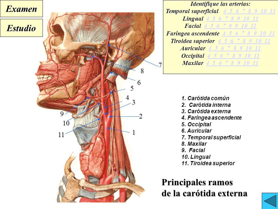 Perfecto Anatomía Arteria Maxilar Fotos - Imágenes de Anatomía ...