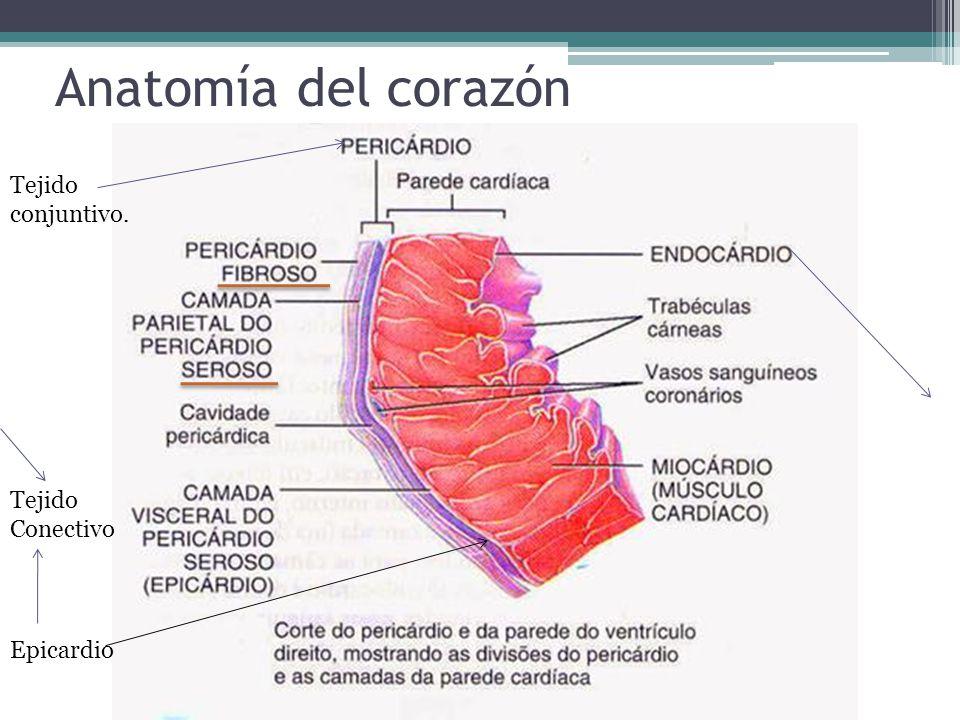Increíble Función De La Anatomía Del Corazón Bosquejo - Anatomía de ...