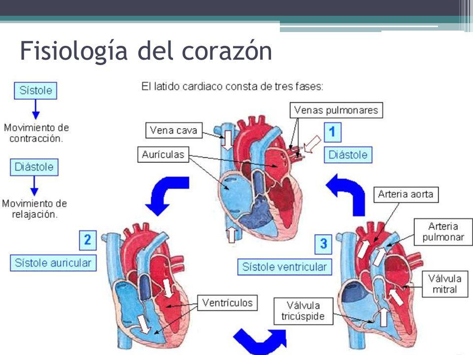 Lujo La Anatomía Y Función Del Corazón Adorno - Imágenes de Anatomía ...