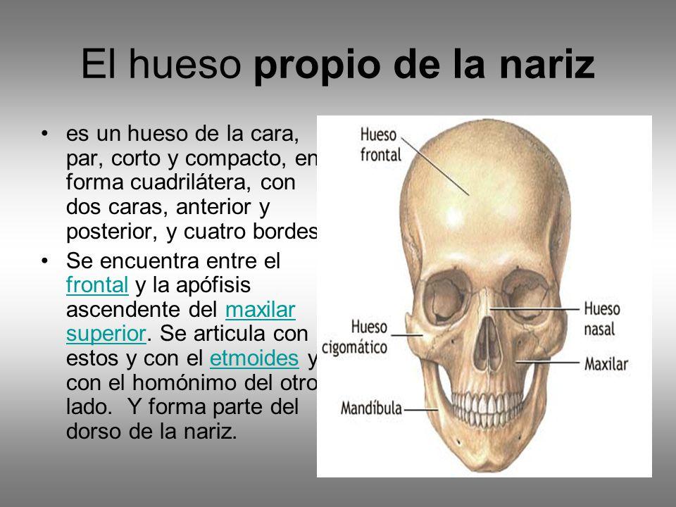 Dorable Anatomía Hueso Cigomático Regalo - Imágenes de Anatomía ...