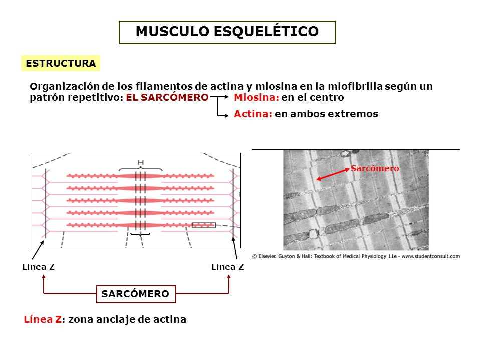 Tejido Muscular. - ppt video online descargar