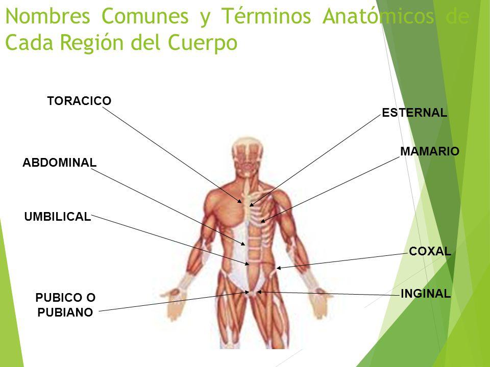 Excelente Términos Básicos De Anatomía Adorno - Imágenes de Anatomía ...