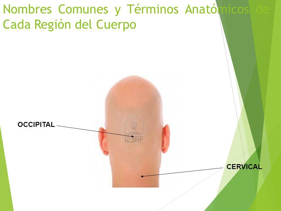 Vistoso Términos Básicos De Anatomía Embellecimiento - Anatomía de ...
