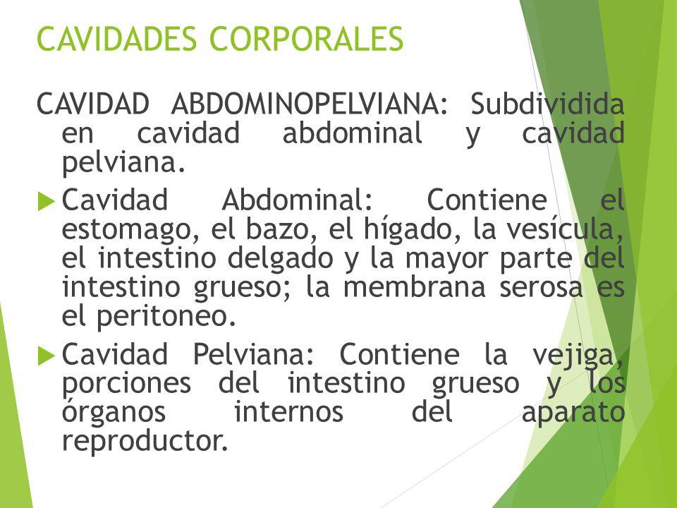 Lujoso Cavidades Corporales Diagrama Elaboración - Anatomía de Las ...
