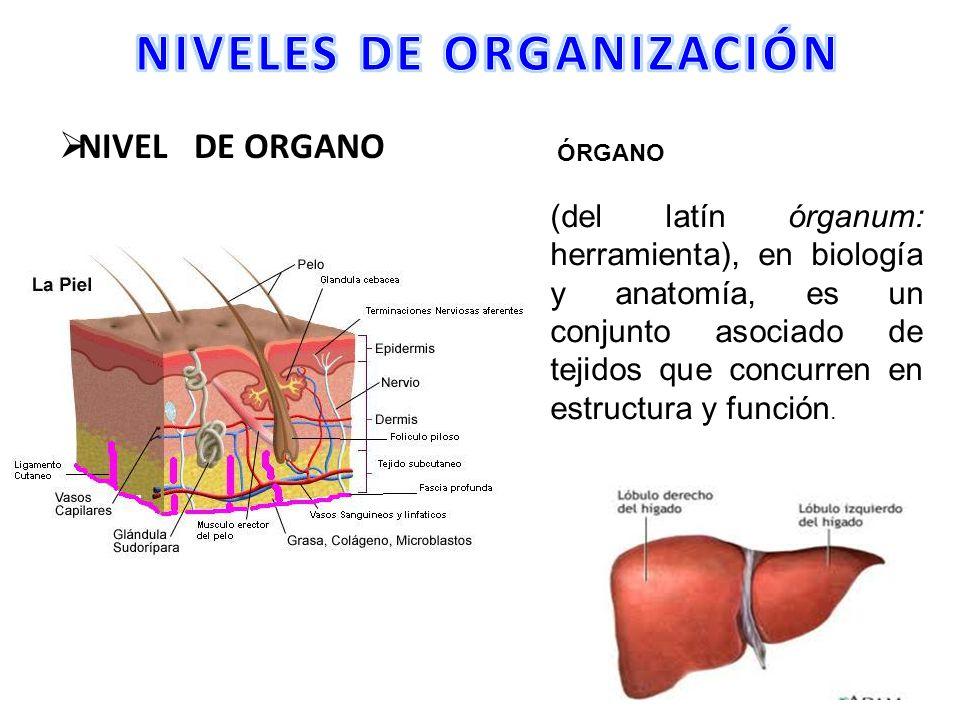 NIVELES DE ORGANIZACIÓN - ppt video online descargar