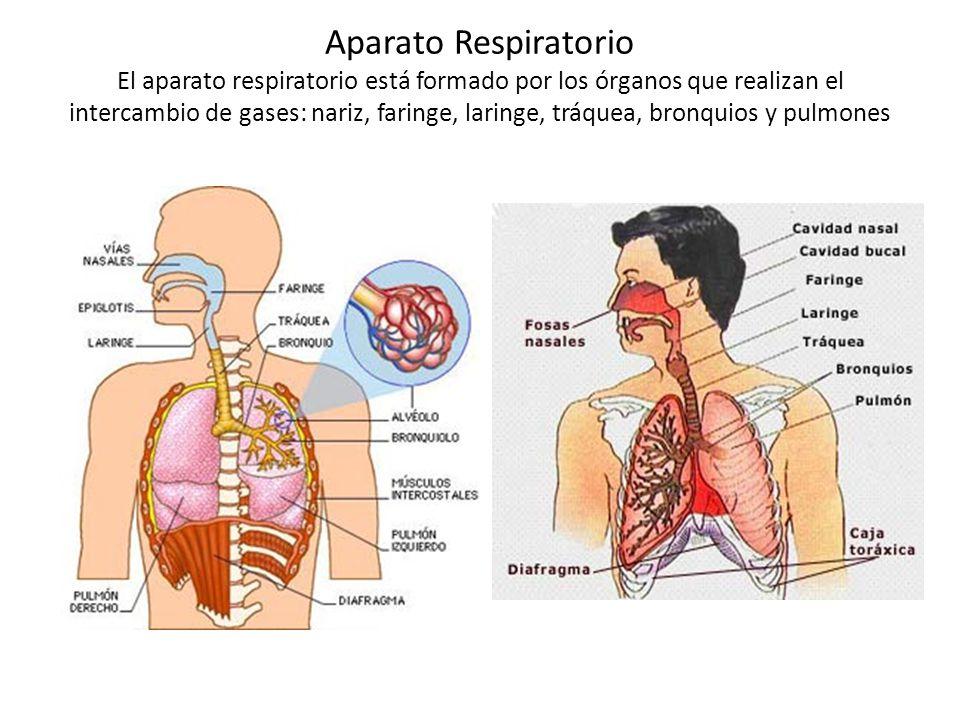Aparato Respiratorio Se le conoce como sistema respiratorio al ...