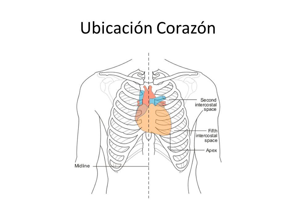 Único Ubicación Del Corazón Embellecimiento - Anatomía de Las ...