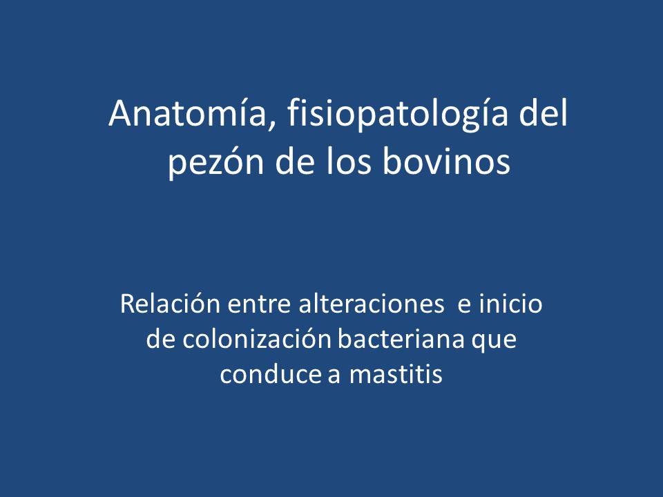 Anatomía, fisiopatología del pezón de los bovinos - ppt descargar