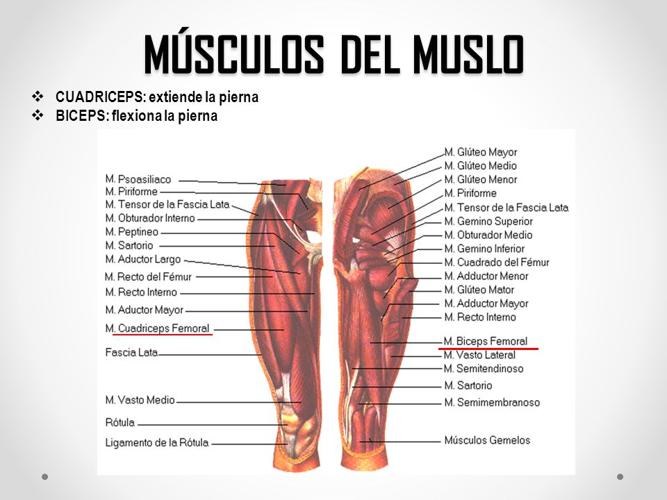 Osteología y Miología del Miembro Inferior - ppt video online descargar