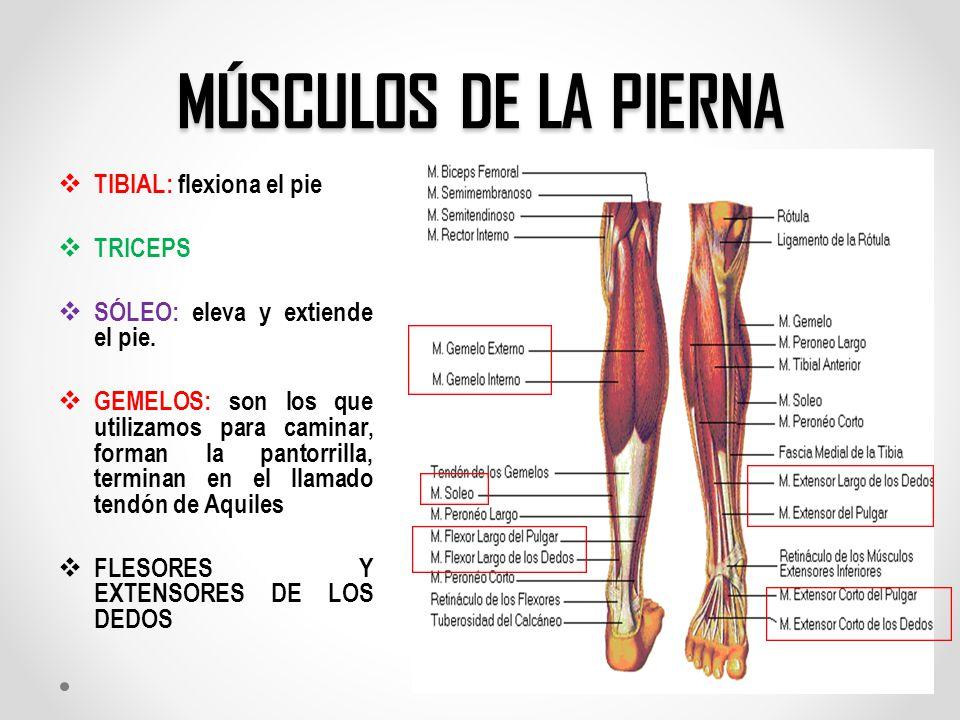 Magnífico Los Músculos De La Pierna Elaboración - Imágenes de ...