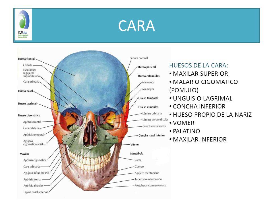 Famoso Anatomía Cara Hueso Inspiración - Anatomía de Las Imágenesdel ...