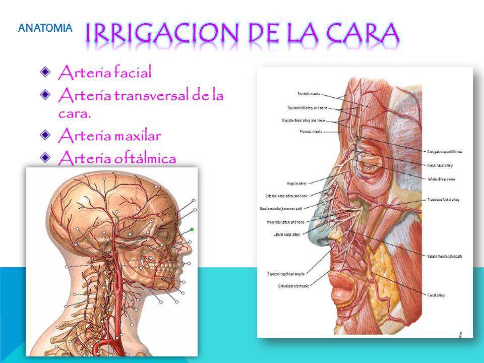 Fantástico Anatomía De La Piel Facial Colección de Imágenes ...