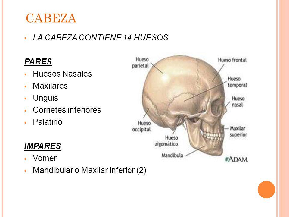 Magnífico Anatomía Ppt Hueso Embellecimiento - Anatomía de Las ...