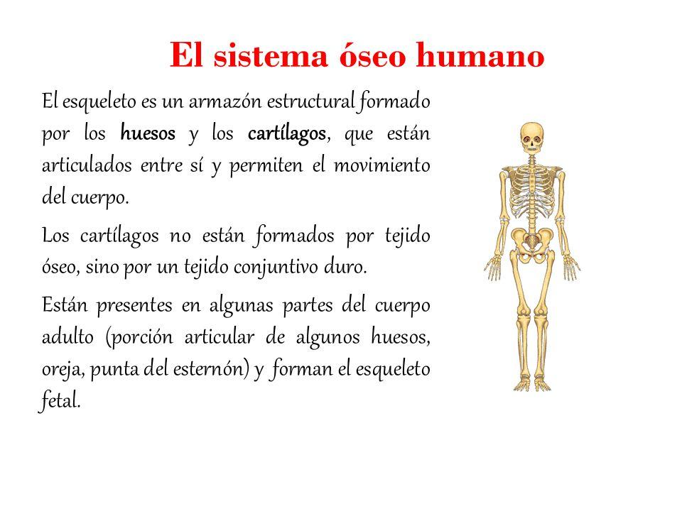 El sistema óseo humano. - ppt video online descargar