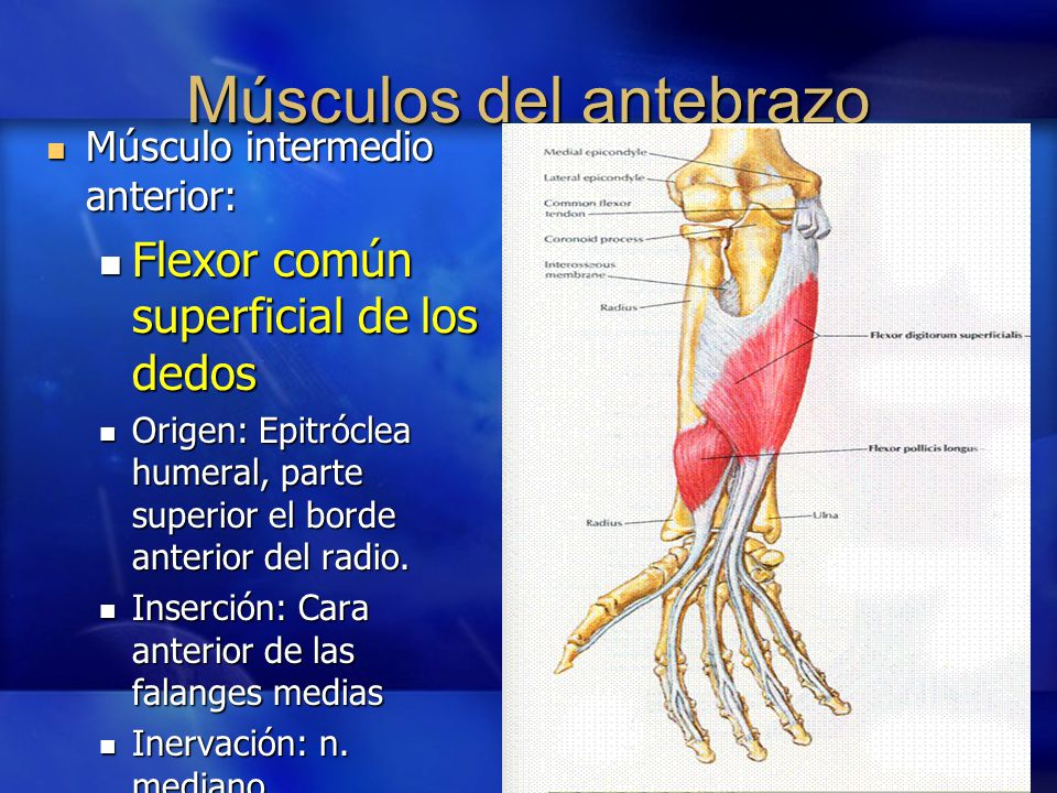 Tercio Distal Del Antebrazo Y Muñeca Ppt Video Online Descargar