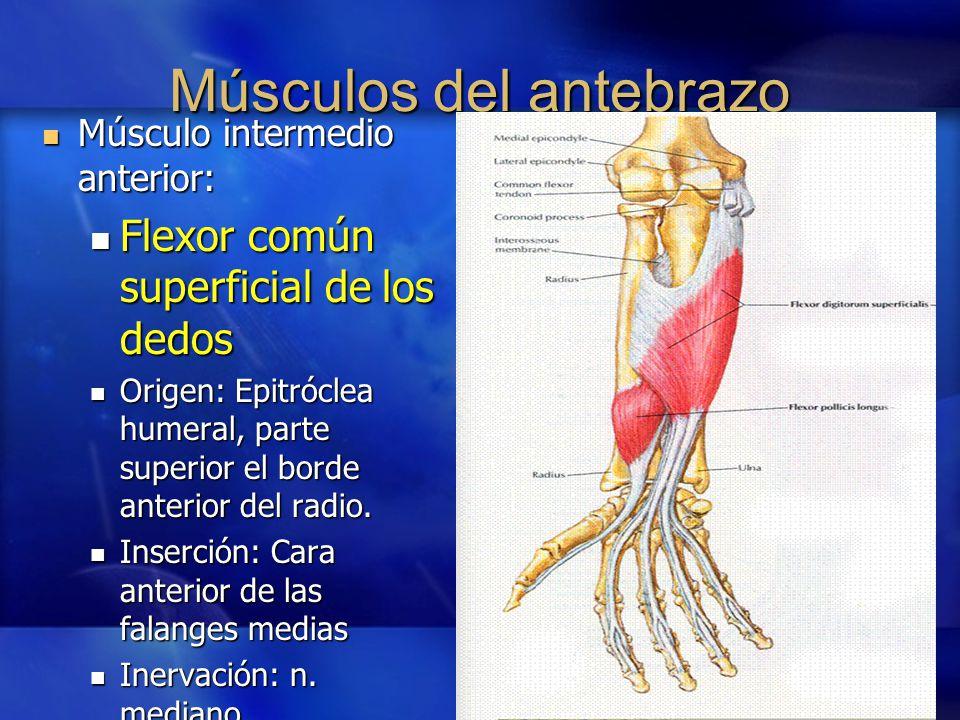 Tercio Distal Del Antebrazo Y Muñeca Ppt Video Online Descargar