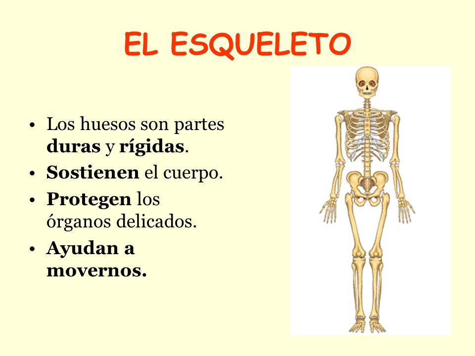 EL ESQUELETO Y LA MUSCULATURA - ppt video online descargar