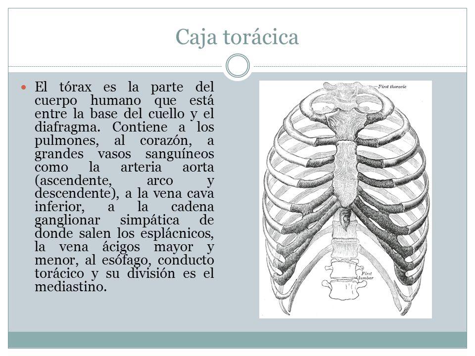 Anatomía Gabriel Mansilla L. - ppt descargar