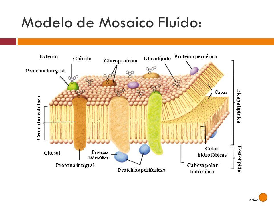 Membrana Plasmática Ppt Descargar