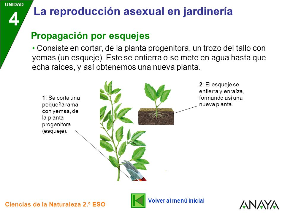 Estaca reproduccion asexual plantasia