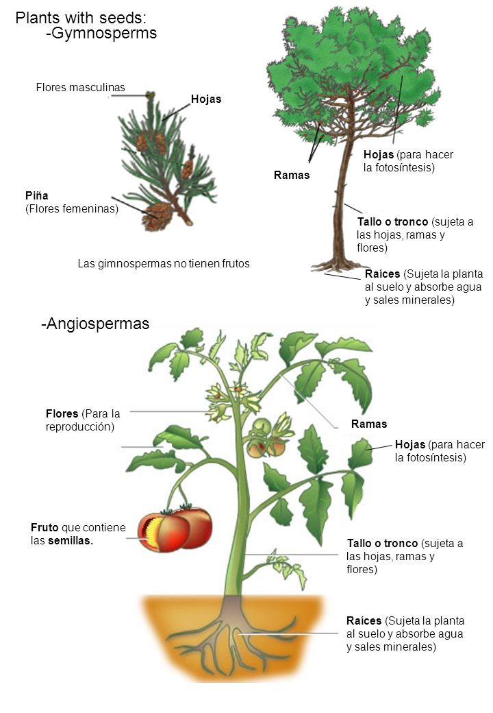 Plants with seeds: -Gymnosperms -Angiospermas Flores masculinas Hojas