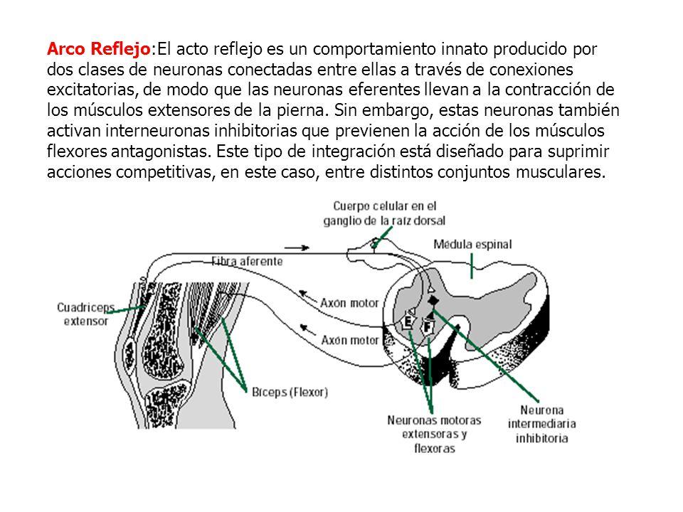 Anatomía y función del Sistema nervioso: - ppt video online descargar