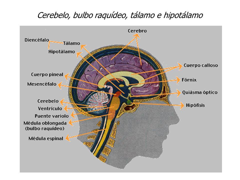 Asombroso Anatomía Del Diencéfalo Friso - Imágenes de Anatomía ...