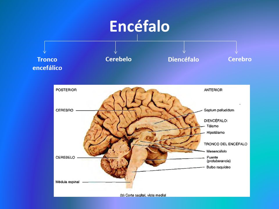 Anatomía topográfica neurológica - ppt video online descargar