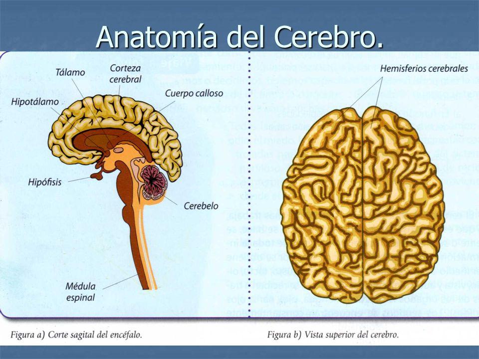 Atractivo Anatomía Cerebral Y La Médula Espinal Fotos - Anatomía y ...