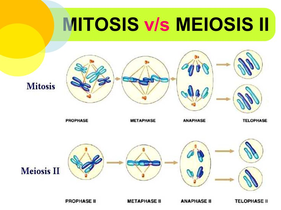 MITOSIS v/s MEIOSIS II