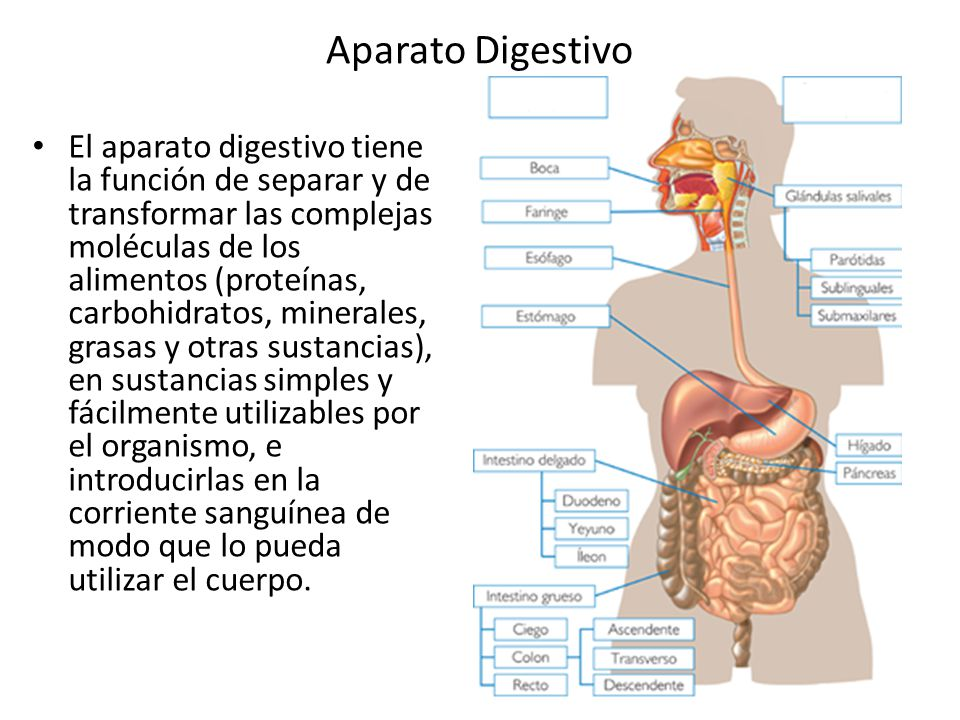 Aparato Digestivo El aparato digestivo tiene la función de