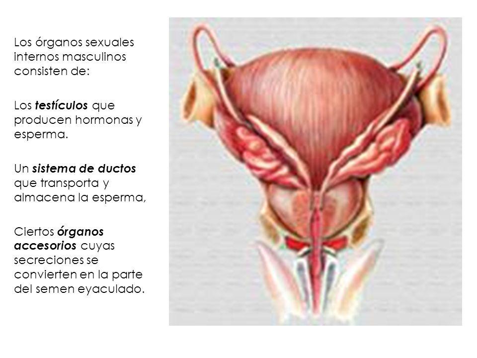 Increíble Sistema De Esperma Imagen - Anatomía de Las Imágenesdel ...