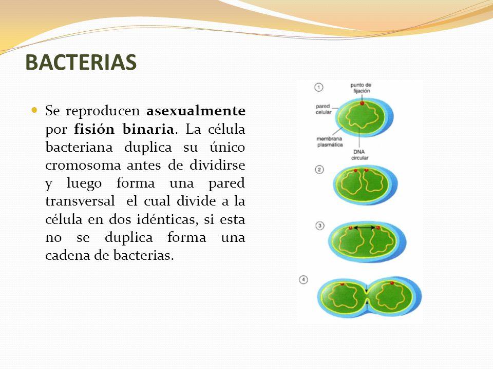 Las bacterias se reproducen sexualmente o asexualmente