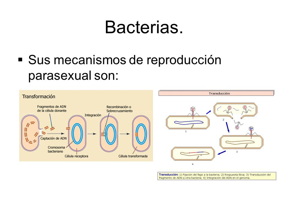 parasexual Reproduccion bacterias