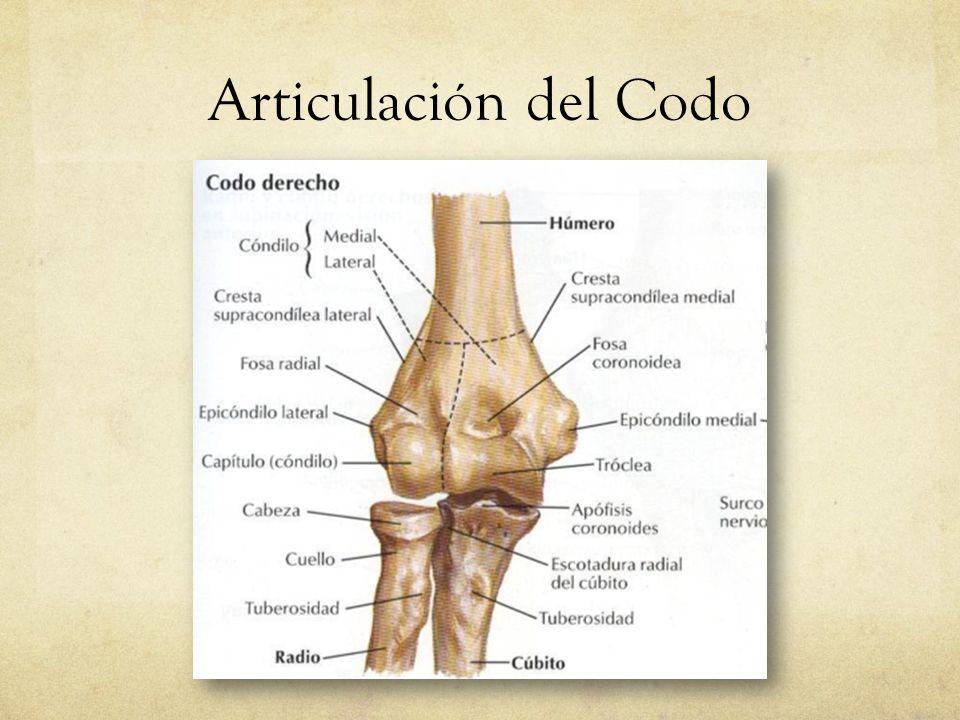 Único Articulación Del Codo Colección - Imágenes de Anatomía Humana ...