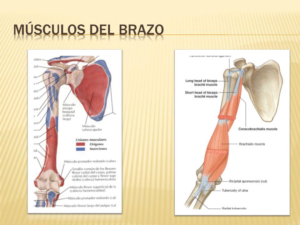 Dorable Diagrama De Los Músculos Del Brazo Patrón - Anatomía de Las ...