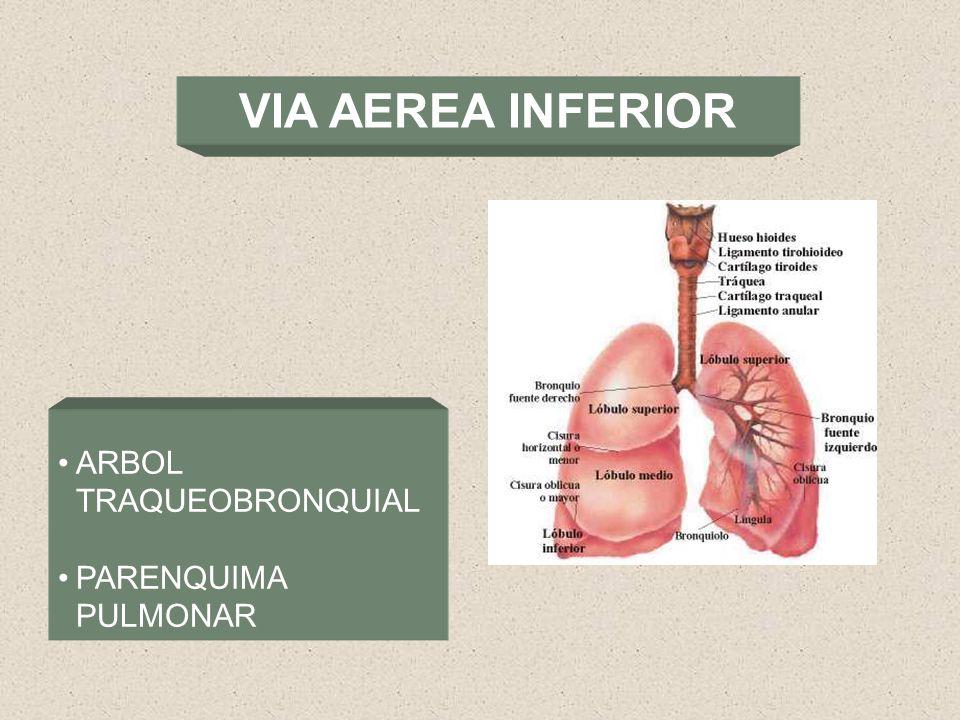 Famoso La Anatomía De La Vía Aérea Pediátrica Ideas - Imágenes de ...