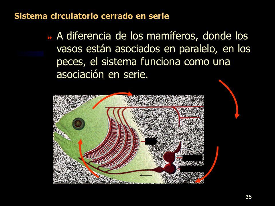 Sistema Circulatorio Diferencia entre organismos pequeños y grandes ...