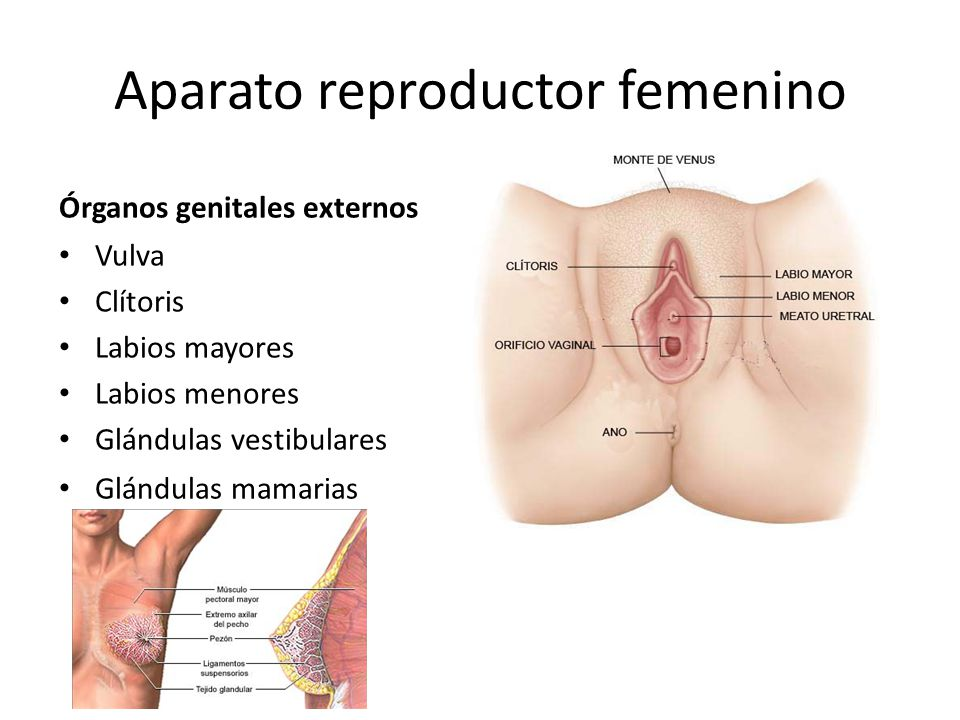 Asombroso Anatomía Femenina Labios Bandera - Imágenes de Anatomía ...