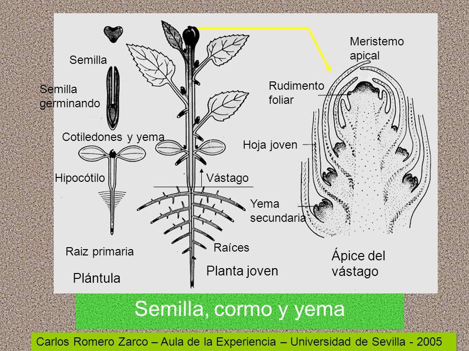 Morfología de las plantas superiores - ppt video online descargar