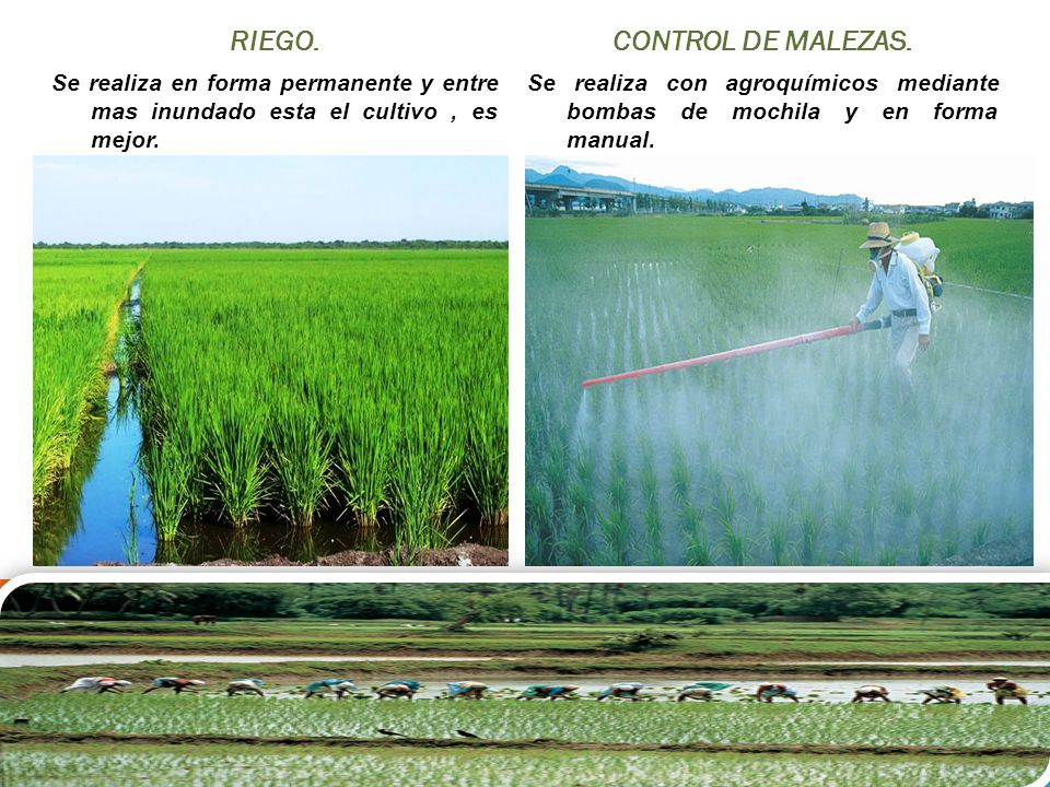 Resultado de imagen para CONTROL DE MALEZAS DE ARROZ