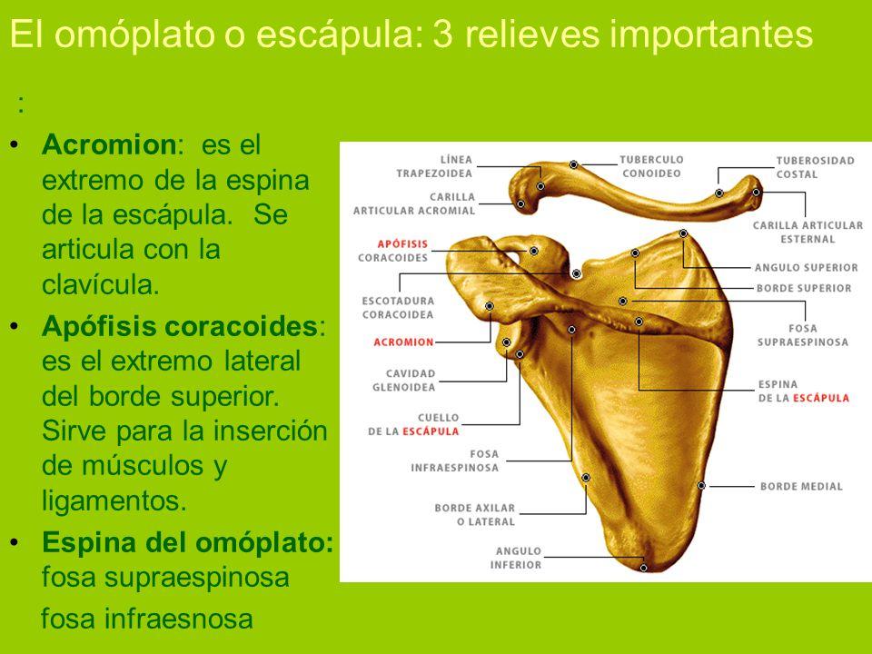 FUNDAMENTOS BIOLÓGICOS Tema 1: Osteología Humana. - ppt descargar