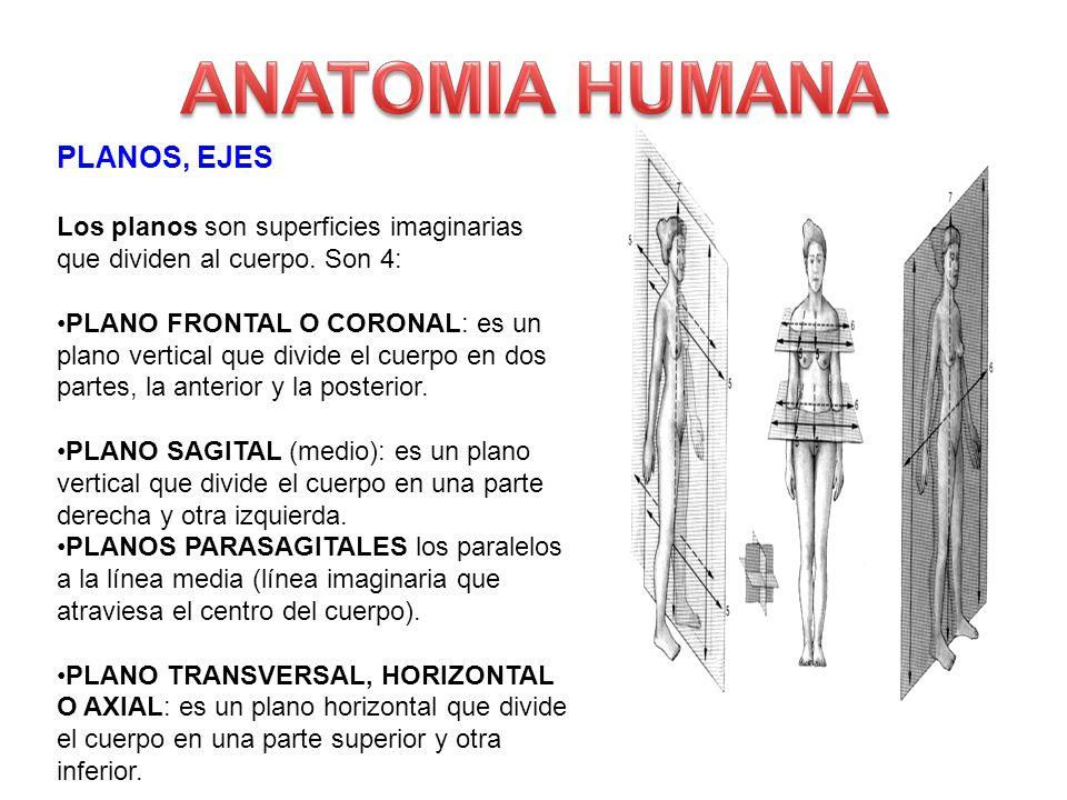 Único Anatomía Plano Frontal Colección - Imágenes de Anatomía Humana ...