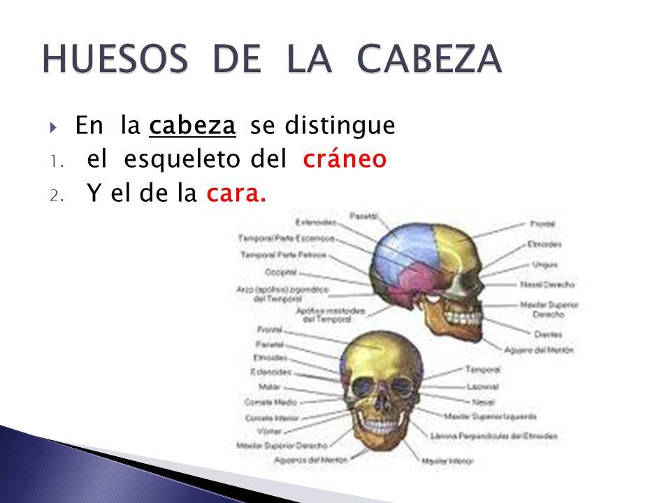 ANATOMIA III HUESOS DE LA CABEZA. - ppt descargar