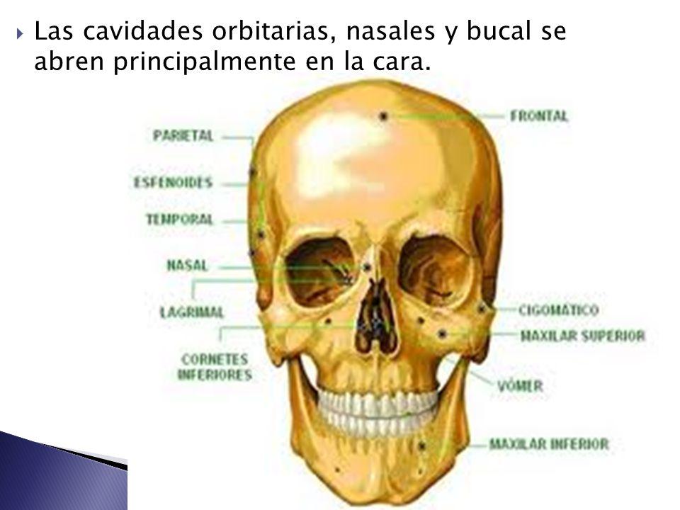Excelente Anatomía De Los Huesos De La Cara Adorno - Anatomía de Las ...