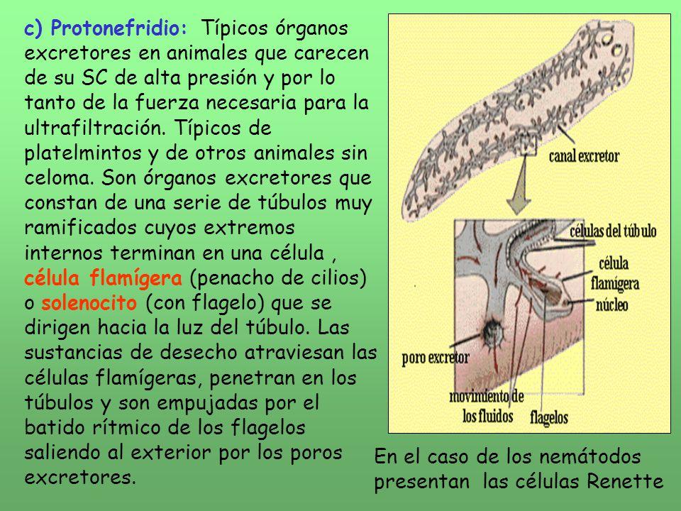 Fisiologia De La Excrecion Y La Osmorregulacion Ppt Descargar