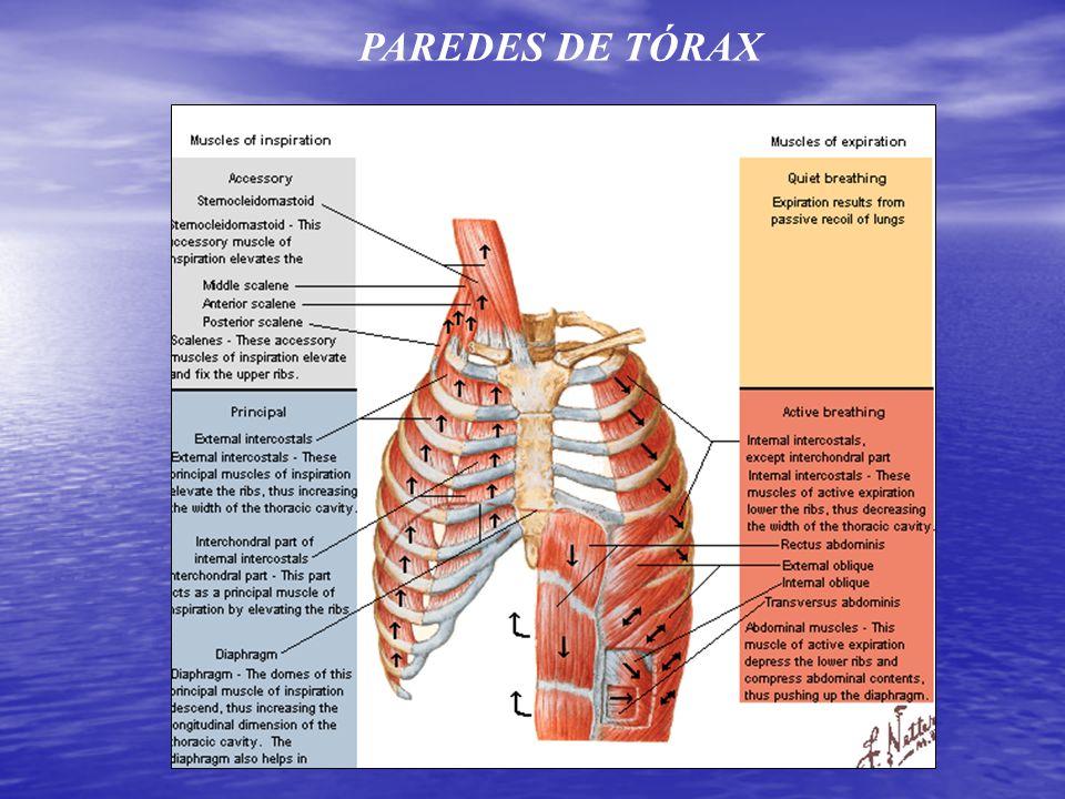 Paredes de Tórax, Mediastino y Mamas. - ppt video online descargar